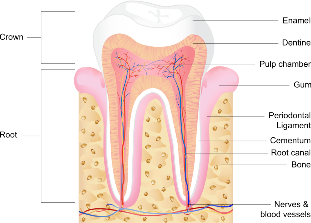 normal tooth anatomy 3MD